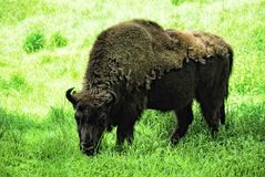 Wisent (Bison bonasus) Royalty Free Stock Photography