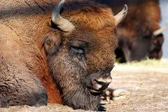 Wisent Bison bonasus Royalty Free Stock Image