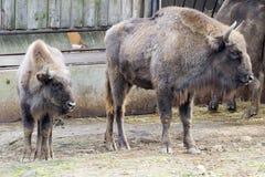 Wisent - bison européen (bonasus de bison) Photos libres de droits
