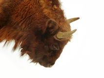 Wisent (bonasus do bisonte) imagens de stock