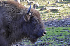 Wisent European Bison. The near extinct Wisent is also known as the European Bison royalty free stock images