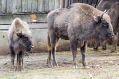 Wisent - European bison (Bison bonasus) Royalty Free Stock Photos