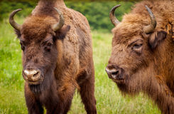 Wisent European bison (Bison bonasus) - young and elderly male Royalty Free Stock Image