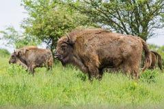 Wisent European bison . Stock Photos