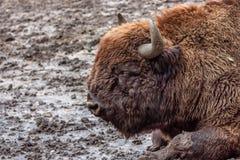 Wisent or European bison Stock Photos