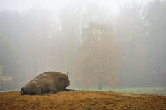 Wisent European Bison in fog Royalty Free Stock Image