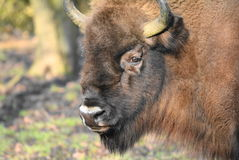 Wisent Stock Photography