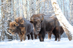 Wisent family in winter birch forest Stock Photo