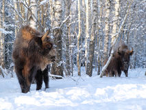 Wisent family in winter birch forest Royalty Free Stock Images