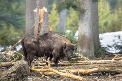 Wisent in the forest Royalty Free Stock Image