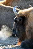 Wisent herd on cold morning Royalty Free Stock Photography