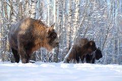 Wisent herd in winter birch forest Stock Photos