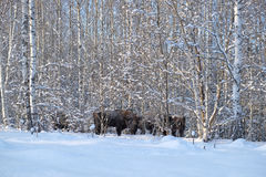 Wisent herd in winter birch forest Royalty Free Stock Photo