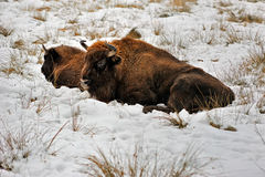 Wisent laying in the snow Royalty Free Stock Photo