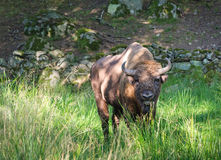 Wisent male outdoor portrait. In summer season Royalty Free Stock Image