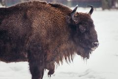 Wisent in Poland Royalty Free Stock Photography