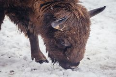 Wisent in Poland. Wisent in Bialowieza Forest National Park in Poland Stock Image