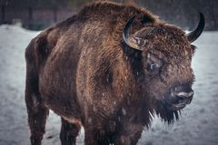 Wisent in Poland. Portrait of European bison on the snow in Bialowieza Forest National Park in Poland Stock Photography