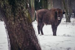 Wisent in Poland. Wisent in show reserve of Bialowieza Forest National Park in Poland Royalty Free Stock Photo
