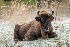 Wisent Royalty Free Stock Images