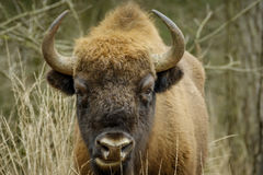Wisent standing in the forest of the natural park, Maashorst Stock Photo