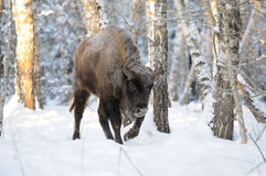Wisent in winter birch forest Stock Images