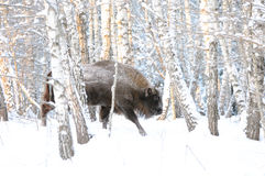 Wisent in winter birch forest Stock Photos