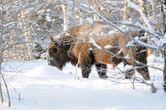 Wisent in winter birch forest Royalty Free Stock Photo