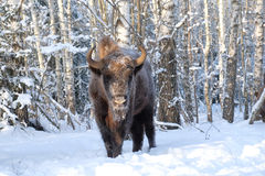 Wisent in winter birch forest Royalty Free Stock Photography