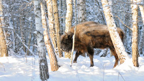 Wisent in winter birch forest Royalty Free Stock Image