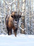 Wisent in winter birch forest Stock Photography