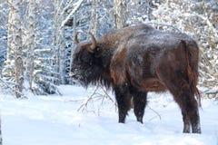 Wisent in winter birch forest Stock Photo