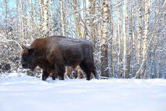 Wisent in winter forest Royalty Free Stock Photos