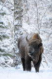 Wisent in winter forest Royalty Free Stock Photography