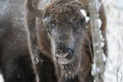 Wisent in winter forest Stock Photo