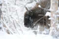 Wisent in winter forest Stock Image