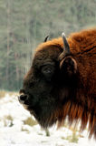 Wisent in winter forest Reserve Bialowieza Forest. Belarus Royalty Free Stock Photos