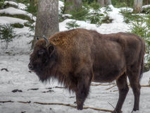 Wisent in the Winter Royalty Free Stock Photos