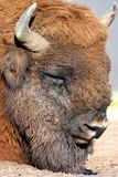 Wisentbisonbonasusen vet också som den europeiska bisonen arkivbilder