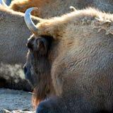 Wisenten vet också som europeisk bisonbisonbonasus med ångande andedräkt på en kall morgon royaltyfri bild