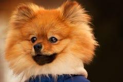 Wisful spitz, pies, szczeniak jest przyglądający w odległość z poważnym spojrzeniem Ten portarit robić w ciepłych colours Zdjęcia Royalty Free