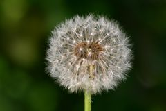 Wish dandelion. Spring wish dandelion macro close up stock images