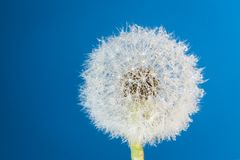 Wish flower Dandelion - Stock image stock images
