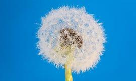 Wish flower Dandelion - Stock image Stock Images