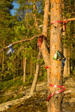 Wish pine tree. With color ribbons in forest on Karelian rock, Finland Royalty Free Stock Photo
