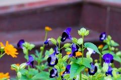 Wishbone-Blume Lizenzfreies Stockfoto