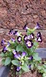 Wishbone-Blume lizenzfreie stockfotografie