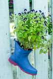 Wishbone-Blume, blaue Flügel, Torenia auf Stiefeln Lizenzfreie Stockbilder