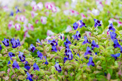 Wishbone-Blume, Bluewings, Torenia Stockfotos