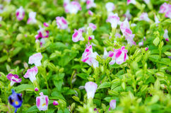 Wishbone-Blume, Bluewings, Torenia Lizenzfreie Stockfotografie